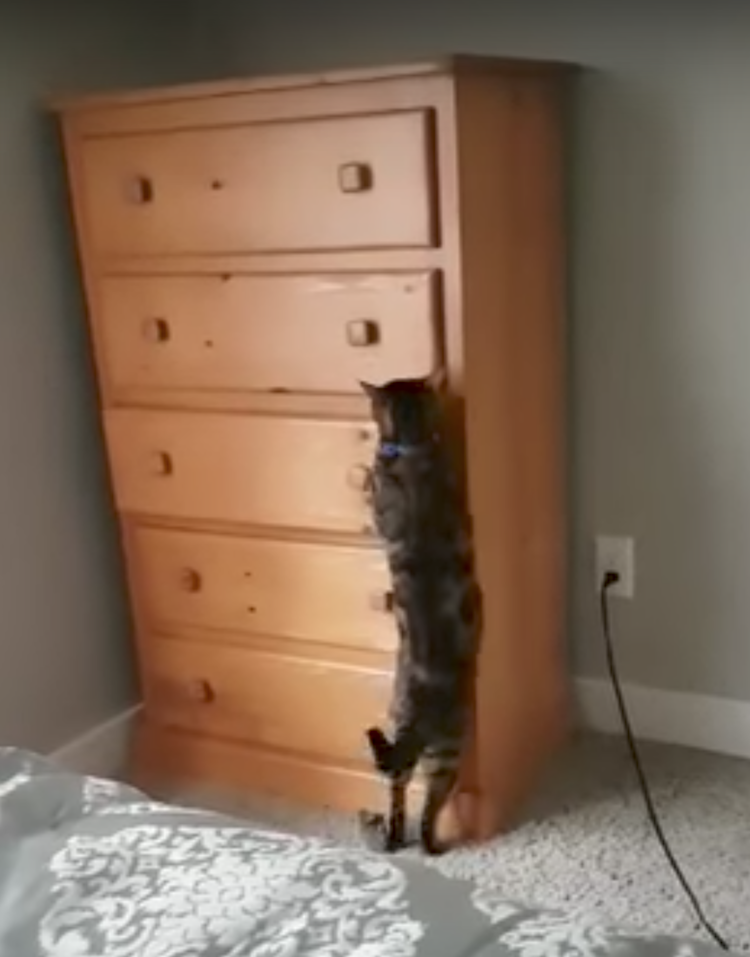 A Clever Cat Skillfully Opens a Dresser Drawer, Jumps In and Closes It From the Inside