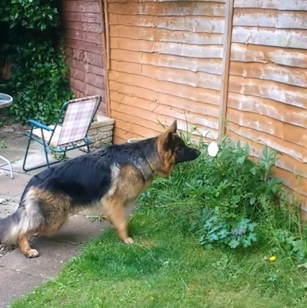 A Vigilant German Shepherd Puppy Warns Her Humans About a Blooming Invader In the Yard