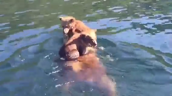 A Mama Grizzly Bear Ferries Her Young Cubs on Her Back Across a River in Southwest Alaska