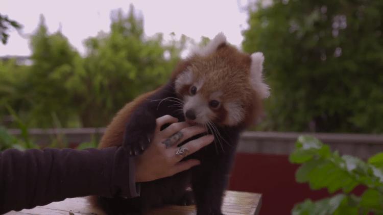 Red Panda Tickles