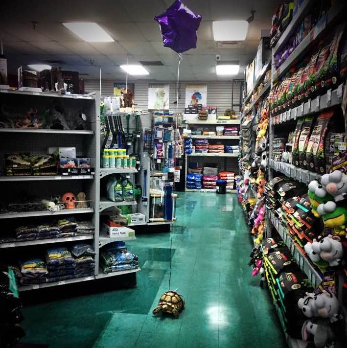 A Lively Tortoise Runs Freely Around a Pet Store With a Tethered Balloon Showing His Location