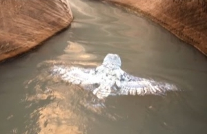 Swimming Owl