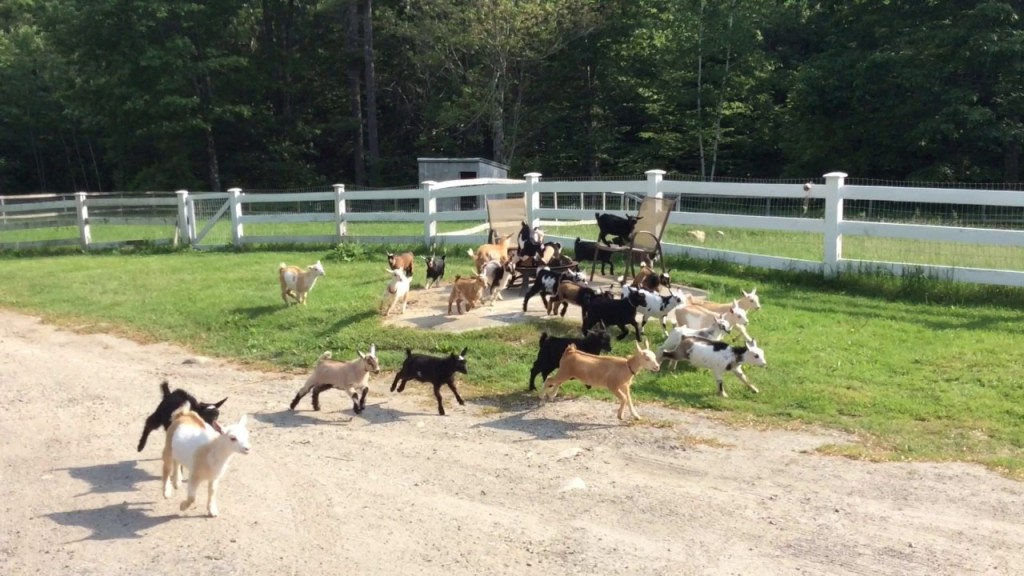 The Baby Goats of Sunflower Creamery Farm Continue the Tradition of Summer Evening Runs