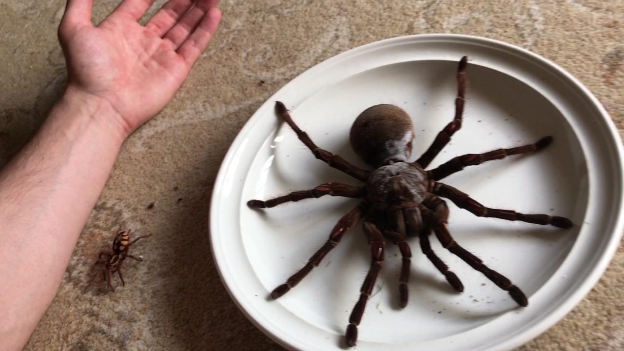 Huntsman Spider Size Massive Size Differenc...