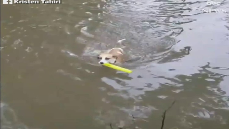 A Determined Dog Swims Through Her Flooded Illinois Backyard to Retrieve Her Favorite Toy