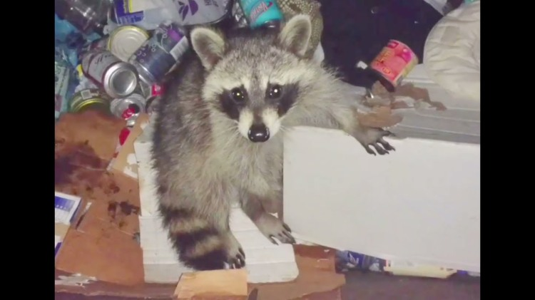 A Kind Human Repeatedly Rescues a Dim But Harmless Raccoon From the Trash Bin