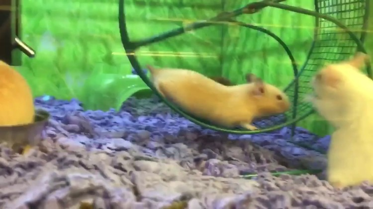 A Little Hamster Hangs by His Shoulders on the Frame of an Exercise Wheel After Losing His Footing