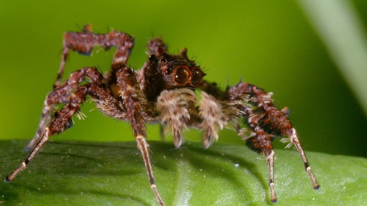 A Portia Jumping Spider Strategically Leaps Through the Jungle to Catch Its Prey