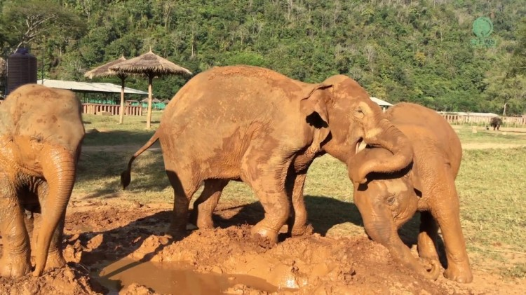 A Protective Elephant Hilariously Guards Her Personal Mud Pile From the Rest of the Herd