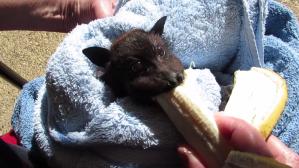 Alisha the Bat Banana