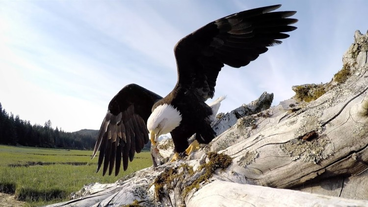 An Intrepid Bald Eagle Takes a Camouflaged GoPro Camera for a High Flying Adventure
