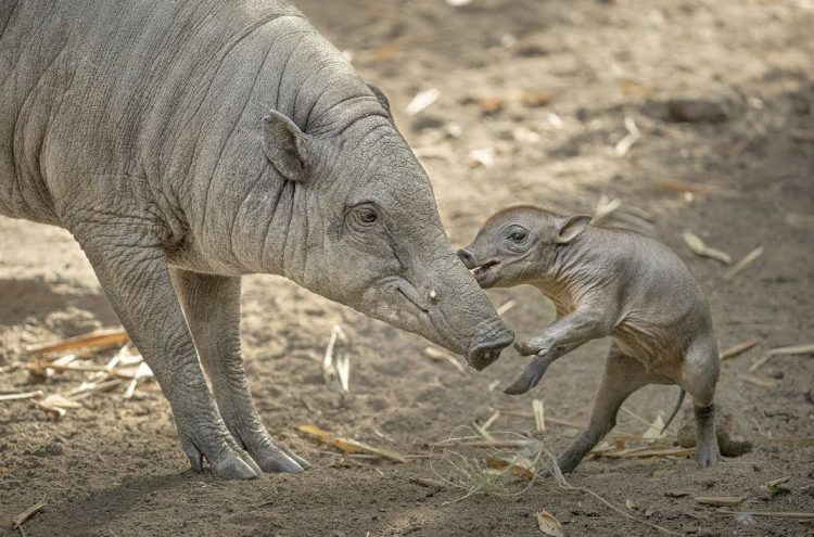 A Rambunctious Baby Babirusa Boar Explores His New World Under the Watchful Eye of His Mother