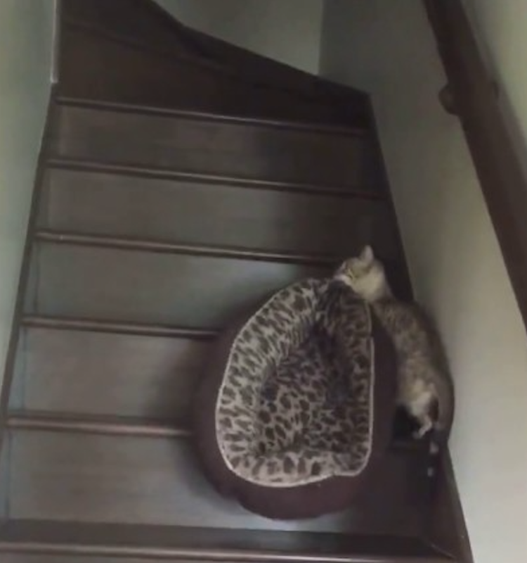 A Determined Bengal Cat Skillfully Carries Her Matching Bed Up the Stairs