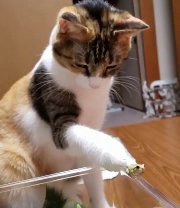 A Curious Little Calico Cat Gently Pets a Teeny Tiny Frog Who Keeps Trying to Hop Away