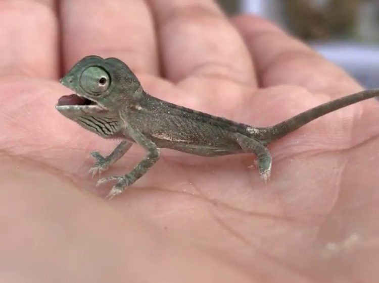 A Surprisingly Relaxed Chameleon Calmly Rests for a While in the Palm of a Person's Hand