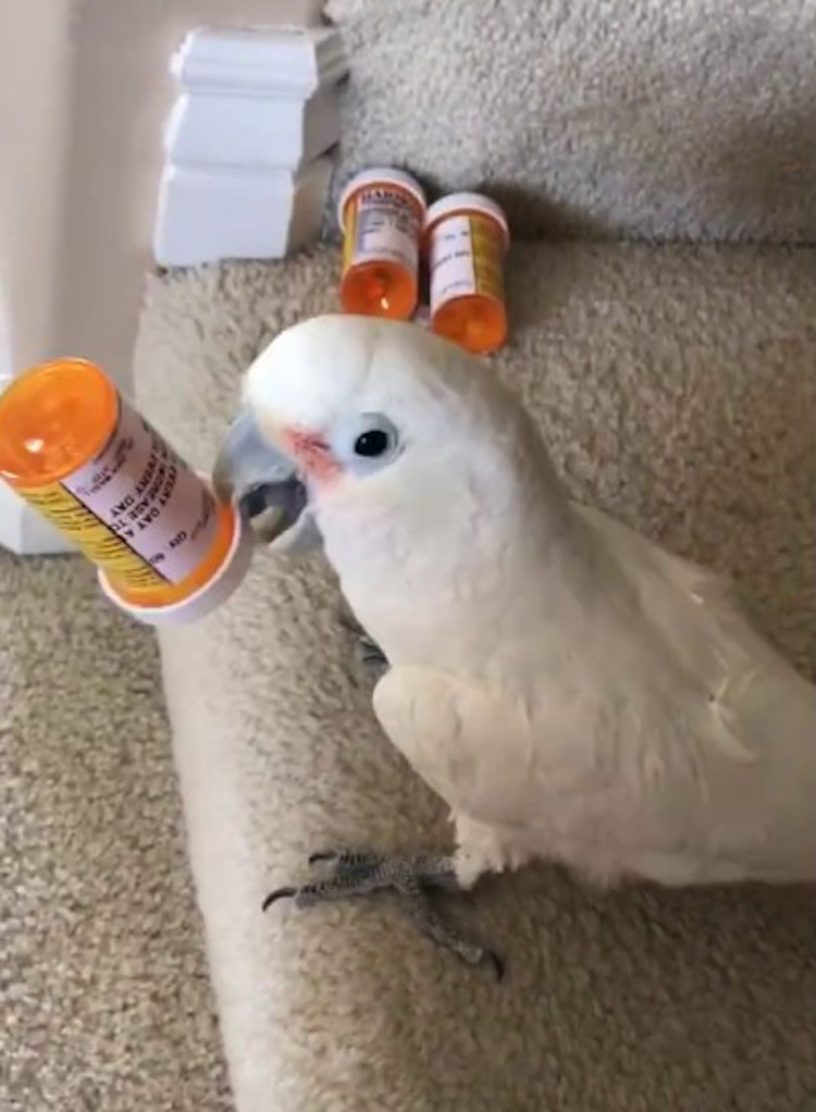 A Rhythmic Cockatoo Shakes Pill Bottles Filled With Seeds and Nuts to Create Short Danceable Beats