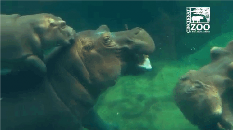 Fiona the Baby Hippo Reunites With Her Parents For an Hour in the Outdoor Pool