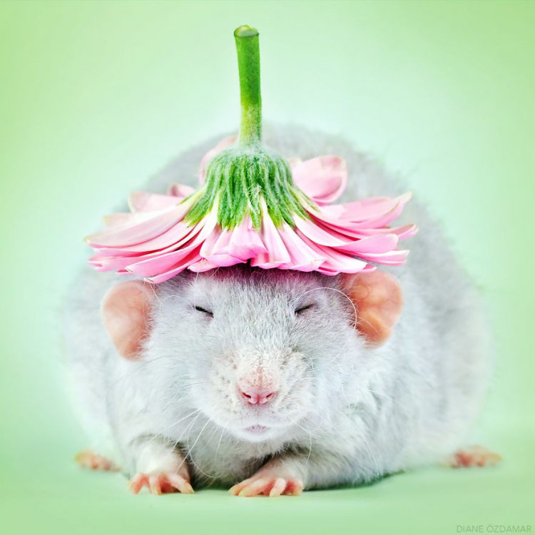 Fancy Rats, An Adorable  Photo Series Showcasing the Softer Side of the Often Misunderstood Rodents