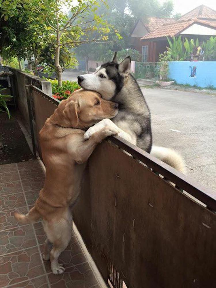 A Gentle Yellow Lab Gives a Neighboring Siberian Husky a Comforting Hug Across a Wooden Fence