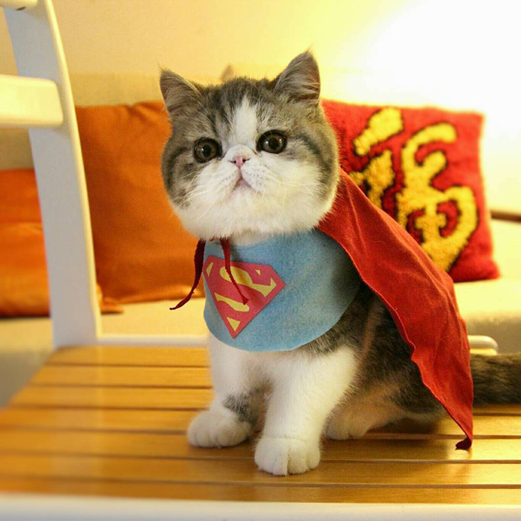 Adorable Exotic Shorthair Cats Dressed Up in Custom Made Pop Culture Character Costumes