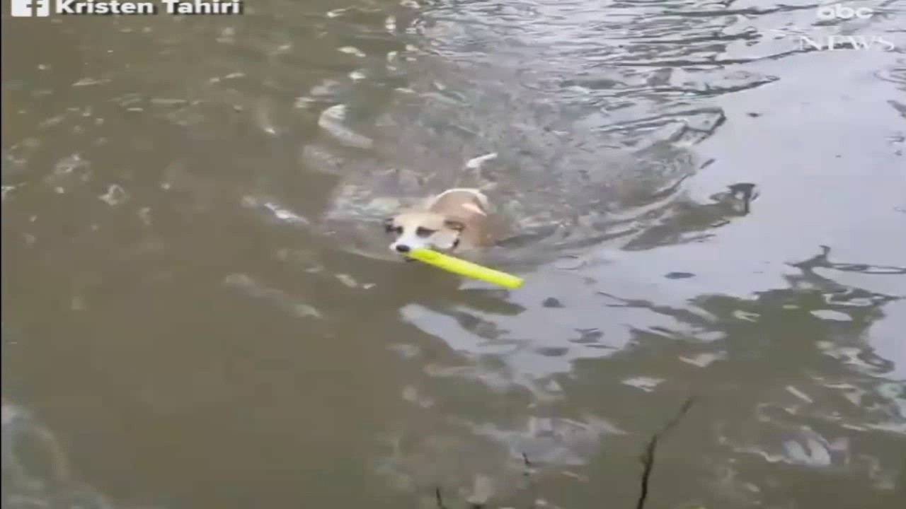a determined dog swims through her flooded illinois backyard to
