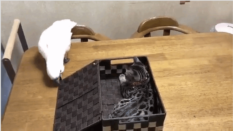 An Inquisitive Parrot Abrupty Shuts the Lid to a Box Containing an Unexpected Kitten Hiding Inside