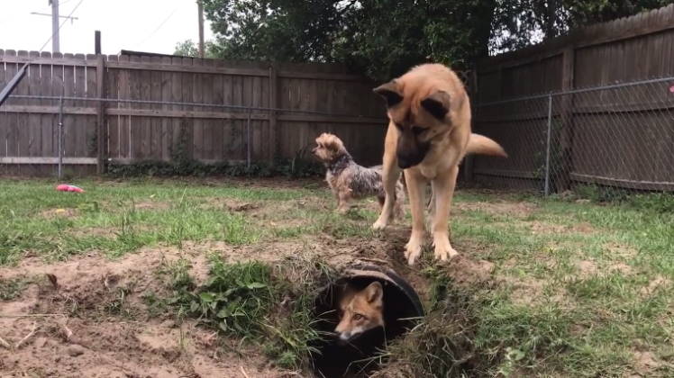 A Spry Little Red Fox Confuses a Playful Dog by Disappearing Into His New Underground Tunnel