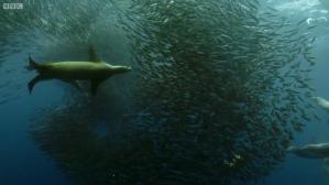 Sea Lion Sardines