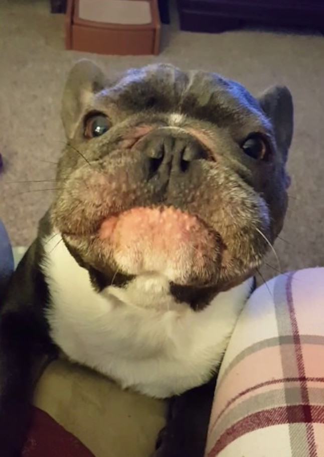 A Singing French Bulldog Does His Very Best Impression of a Race Car Changing Gears