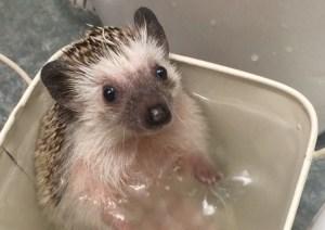 Hedgehog in Bathtub