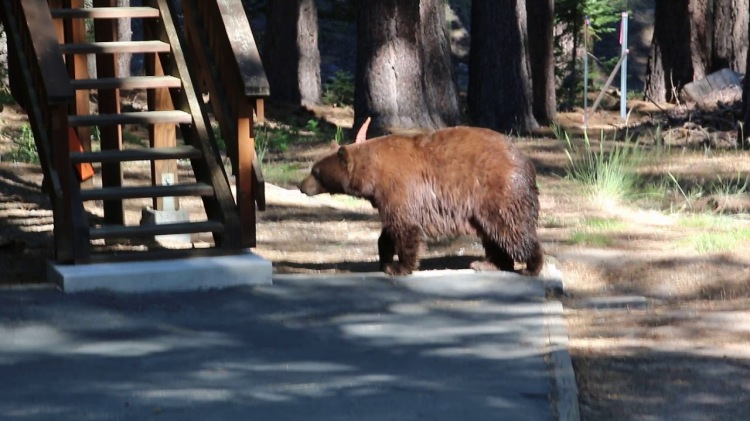A Boy Plays Violin to Calm the Frantic Mama Bear and Cubs Who Were Breaking Into a Vacant House