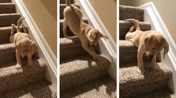 A Brave Little Puppy Faces His Fears Head On As He Teaches Himself to Walk Down the Stairs