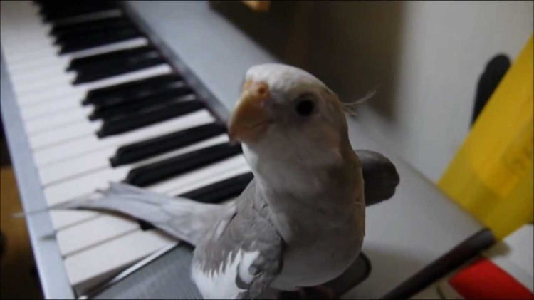 A Musical Cockatiel Whistles a Beautiful Tune Alongside His Piano-Playing Human
