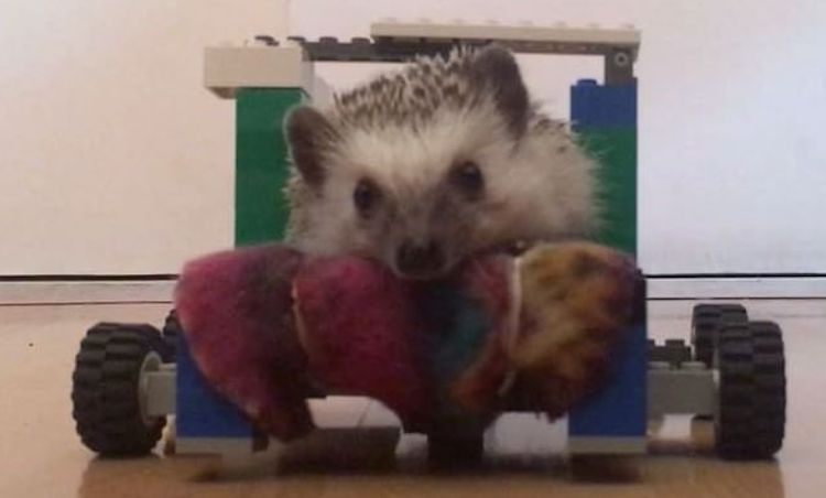 Creative Human Builds a LEGO Wheelchair for Her Beloved Ailing Hedgehog Who Can't Walk Anymore
