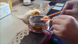Drumming Cockatiel