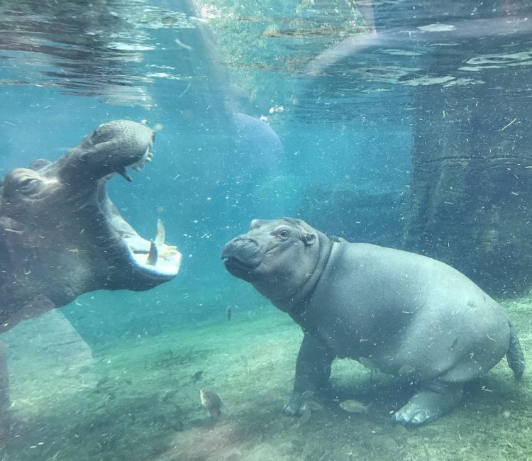 Fiona the Hippo Spends a Wonderful Day Swimming In the Company of Her Mother Bibi
