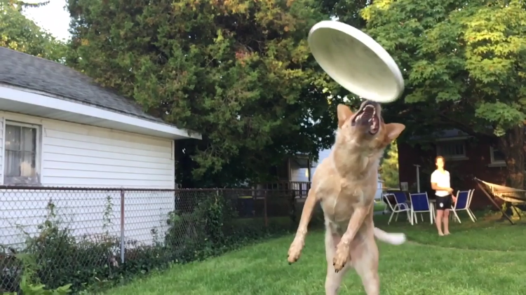 An Optimistic Dog Does Her Best to Catch a Frisbee in Mid-Air But Comes Up a Just Bit Short