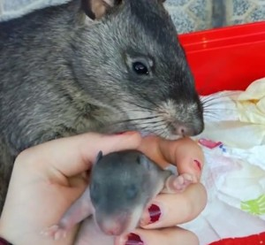 Giant Pouched Rat Mama Introduction