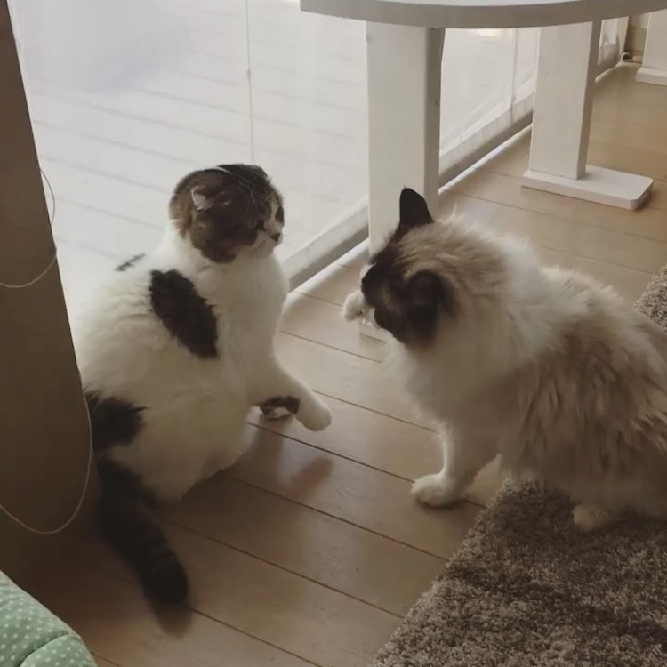 Two Lazy Cats Hilariously Engage in a Rather Half-Hearted Boxing Match