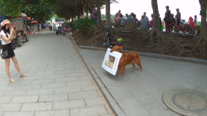 Smart Dog Walks Around in China Carrying a Sign to Advertise a Local Burger Joint