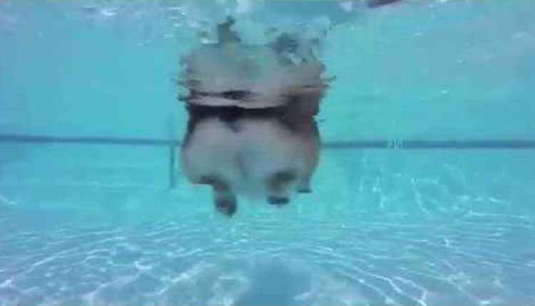 Swimmng Corgi