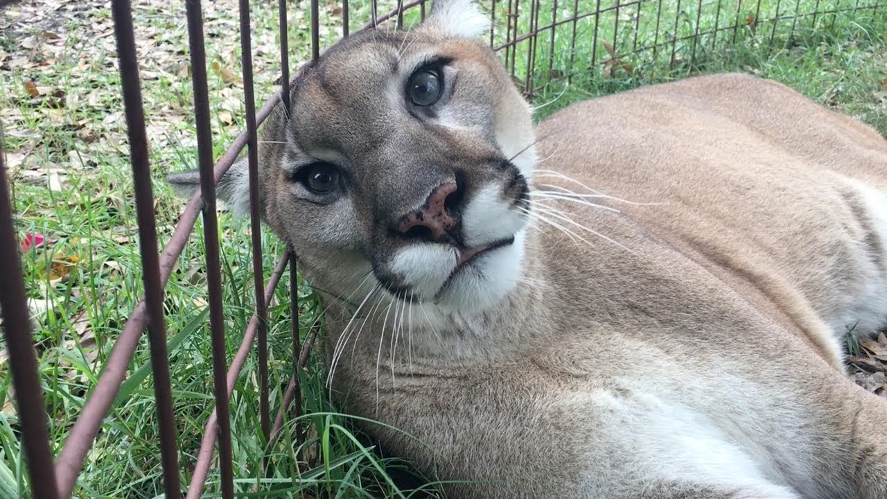 A Friendly Visit With a Rescued Cougar, The Biggest Species of Cats That Meow Rather Than Roar