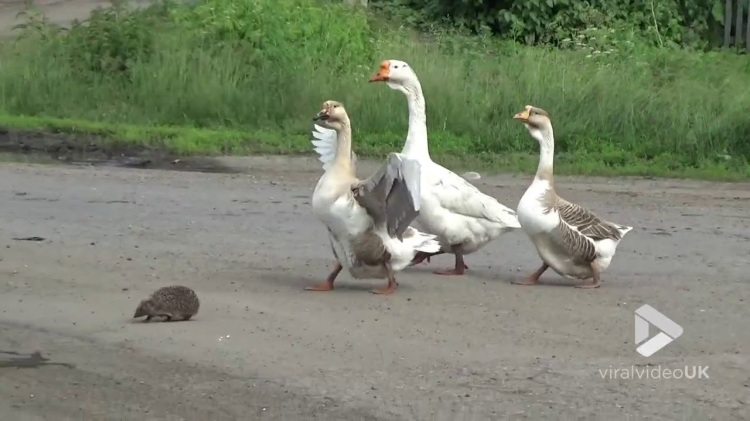 A Trio of Vigilant Geese Valiantly Escort a Tiny Hedgehog Across the Street