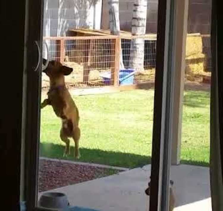 Perfect A Lively Dachshund Bounces Up and Down to Reach the Handle In Order to Open the Sliding Glass Door