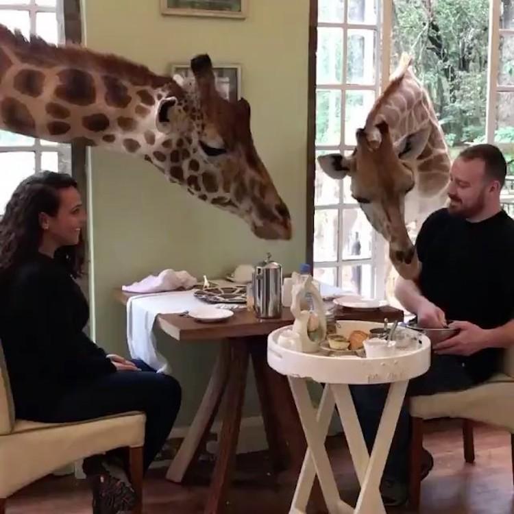 Breakfasting Giraffes