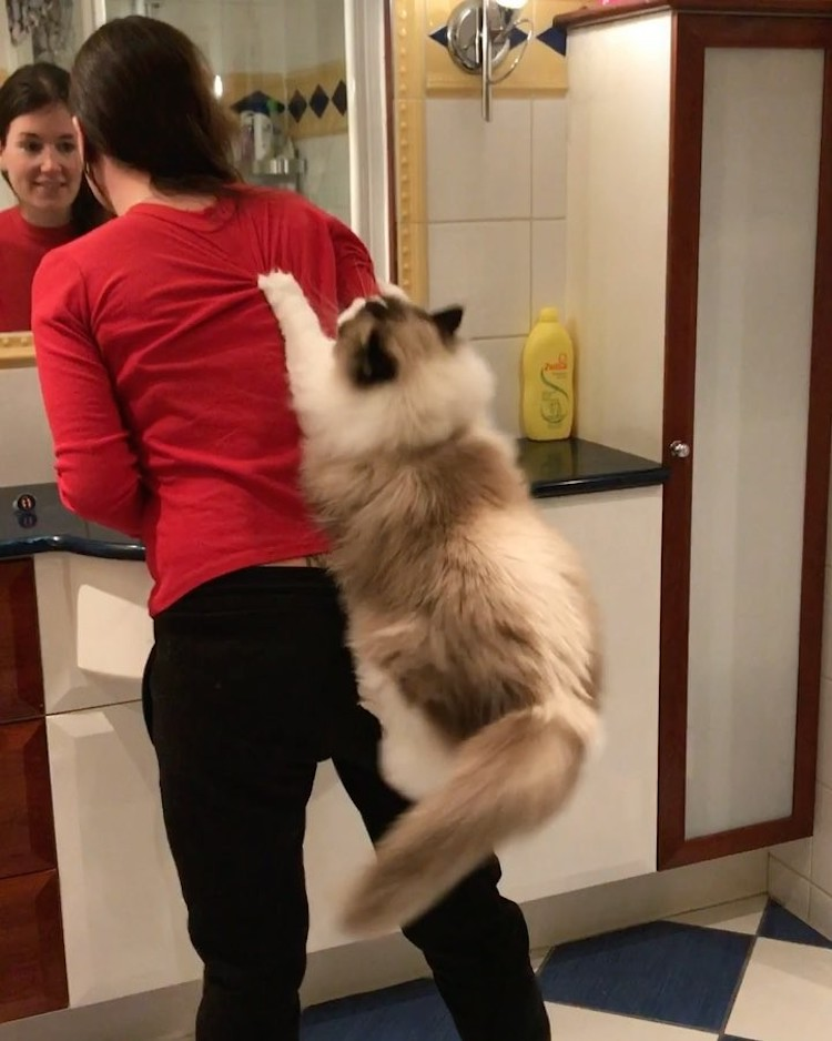 Giant Ragdoll Cat Uses Her Human As a Cat Tree