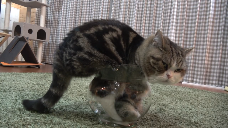 maru the cat hilariously tries to fit his big body into a small goldfish bowl. Black Bedroom Furniture Sets. Home Design Ideas