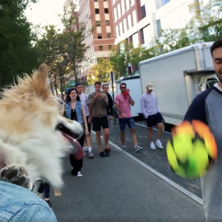 Maxine the Corgi Repeatedly Bounces an Incoming Ball Off Her Nose While in Her Human's Backpack