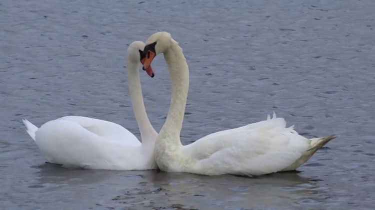 A Reunited Swan Couple  Form the Shape of a Heart With Their Heads After Being Separated for Weeks