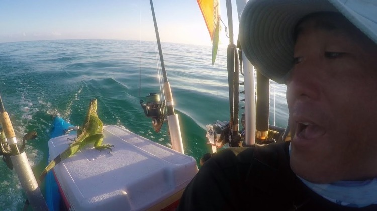 A Tired Iguana Stranded Four Miles at Sea Catches a Ride Back to Shore With a Compassionate Kayaker